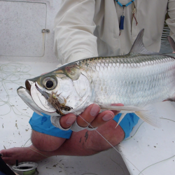 Baby tarpon na cocroach fly